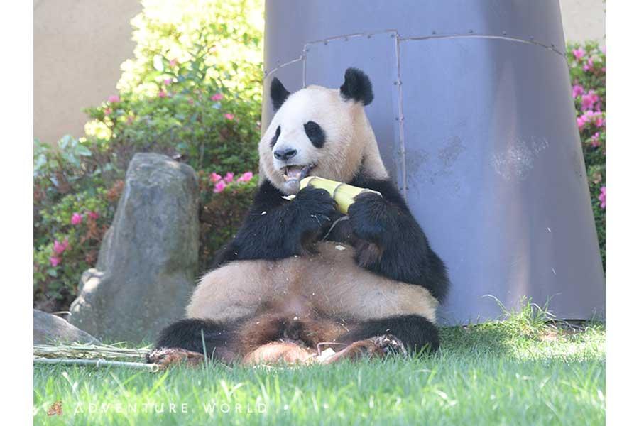 アドベンチャーワールド17頭目のパンダの赤ちゃん誕生