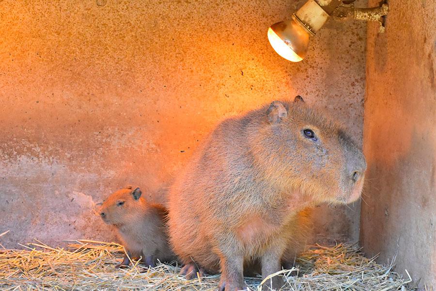 カピバラ&ミミナガヤギ&エミューの赤ちゃんが誕生