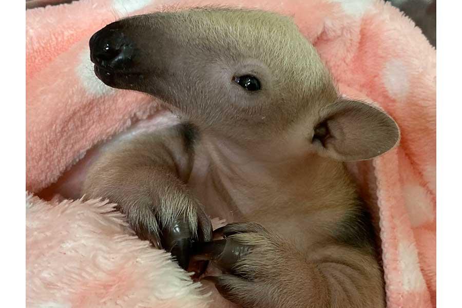 すくすく成長中のミナミコアリクイの赤ちゃん