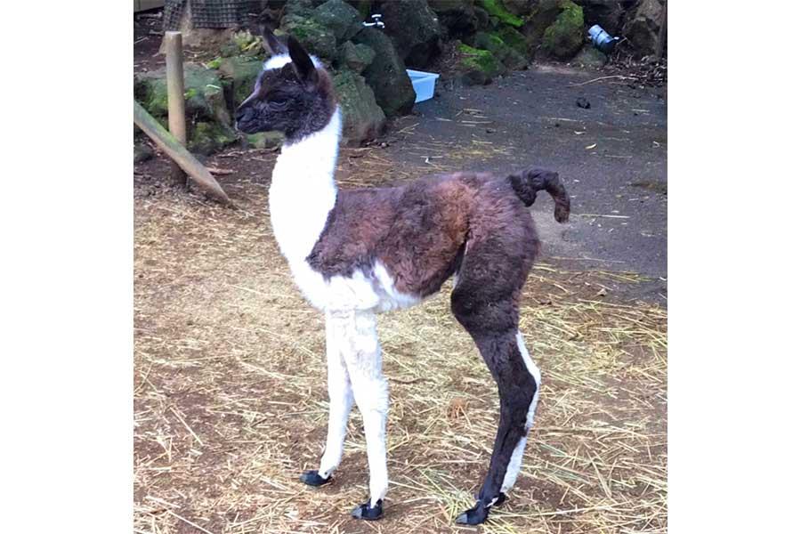 伊豆シャボテン動物公園でラマの赤ちゃんが誕生