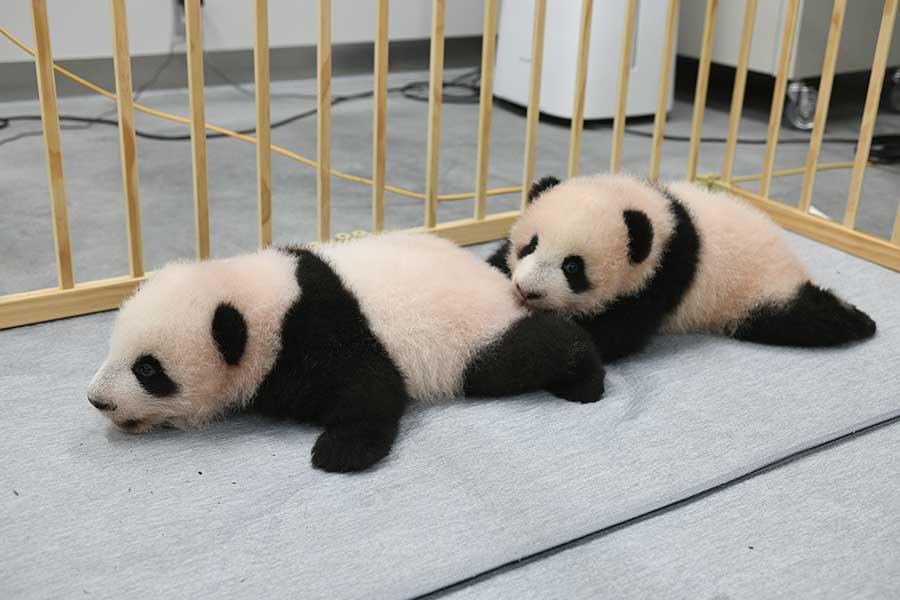 名前が決まった双子の赤ちゃんパンダのシャオシャオ(左)とレイレイ
